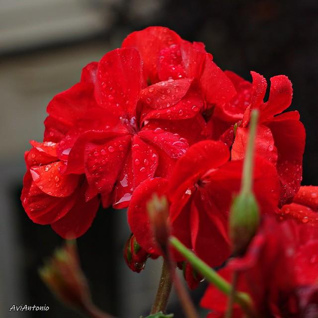 Gerani sota la pluja.....Geranio bajo la lluvia
