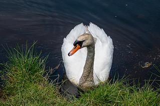 Showboating Swan