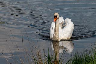Sleek and Graceful as a Swan