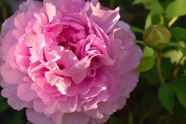 Pink peony up close