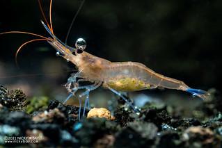 Blue Poso Shrimp (Caridina caerulea) - P6039914