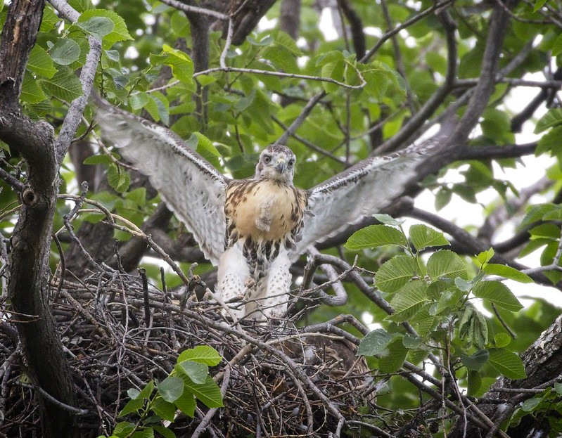 Red-tail nestling stretching its wings