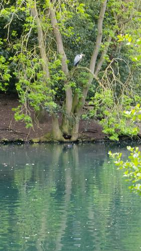 Heron, high in tree, West Park island