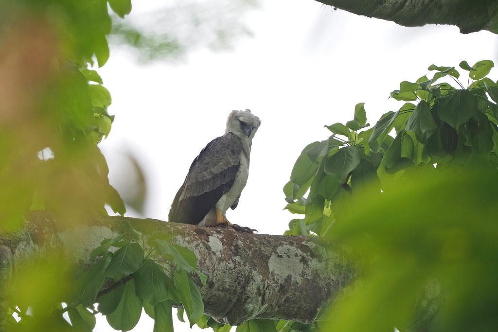 Harpy Eagle (immature)