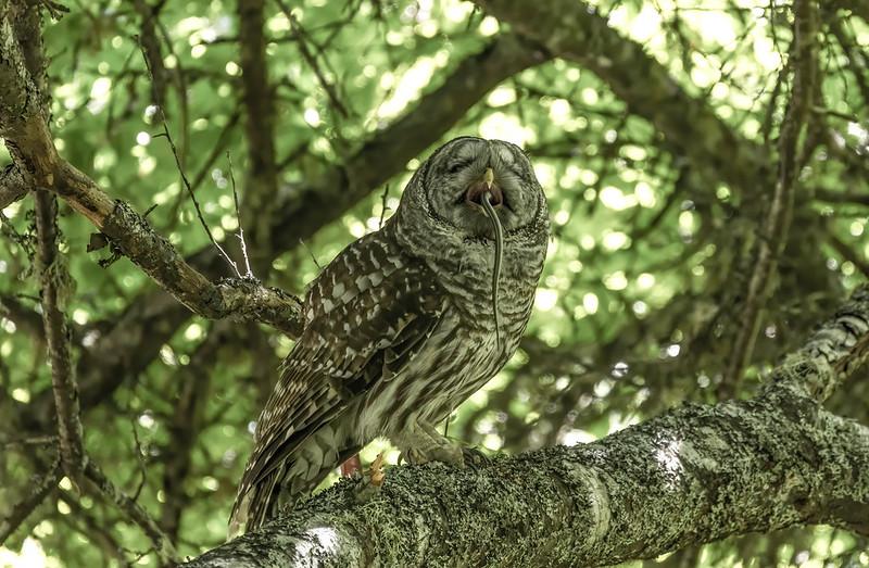 Barred Owl, inhaling his aperitif.