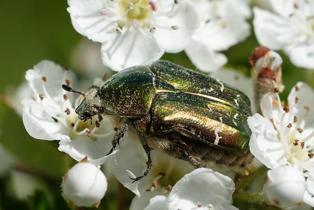 Flower Chafer (Cetoniinae) Guldbagge