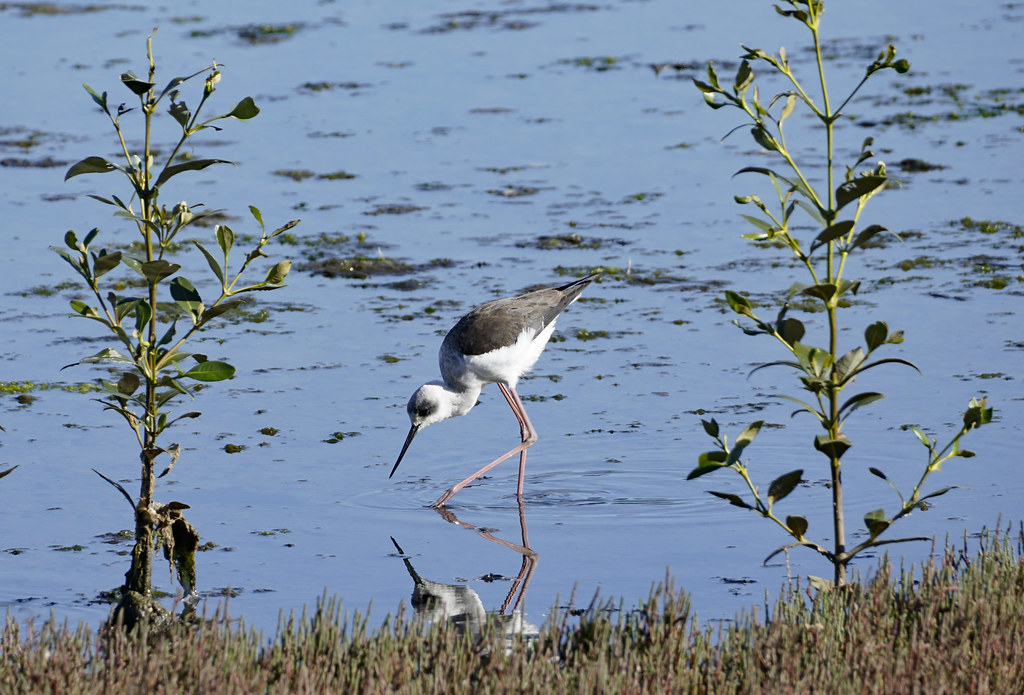 Young black-winged stilt