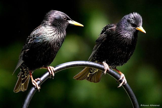 European Starling Pair