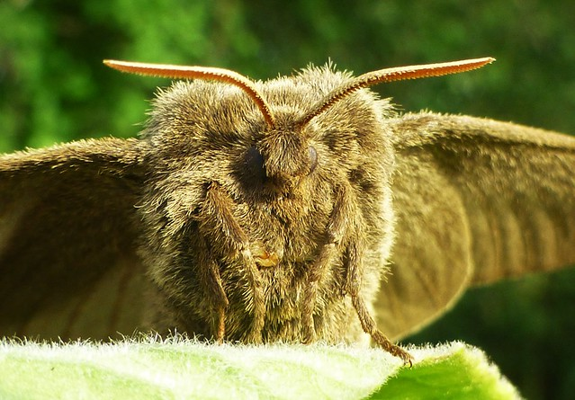 Furry Fox Moth Face ..x