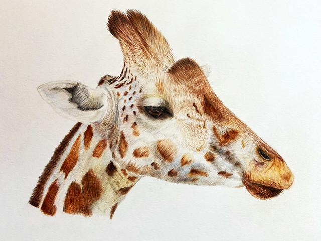 Giraffe  ( Polychromos Faber Castell)