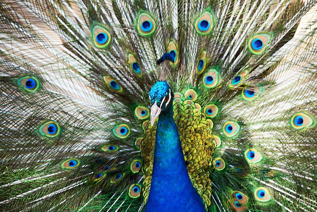 I do not believe that any peacock envies another peacock his tail, because every peacock is persuaded that his own tail is the finest in the world. The consequence of this is that peacocks are peaceable birds. ~~ John Ruskin
