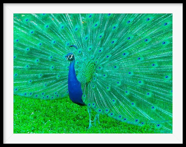 EL REY PAVO (Peacock)