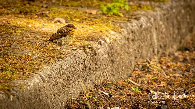 Wildlife of Edinburgh - fledgling robin