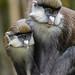Schmidt's Red-tailed Monkey (Cercopithecus ascanius schmidti)