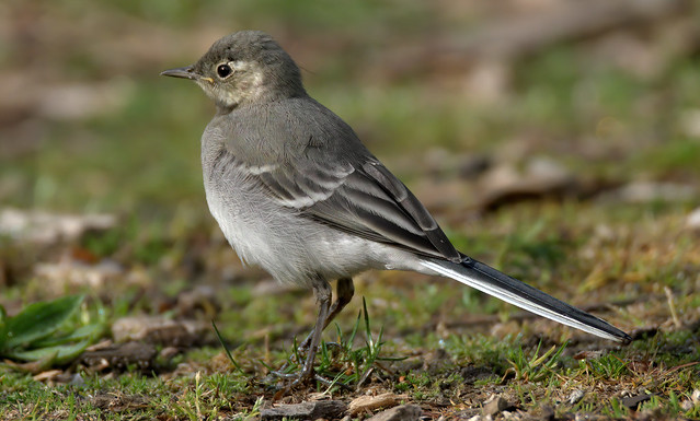 a juvenile white wagtail