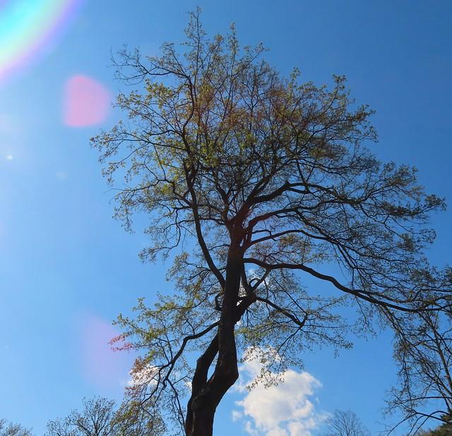 1 (39)..austria tree baum with sun reflection