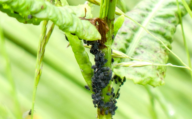 Aphids.
