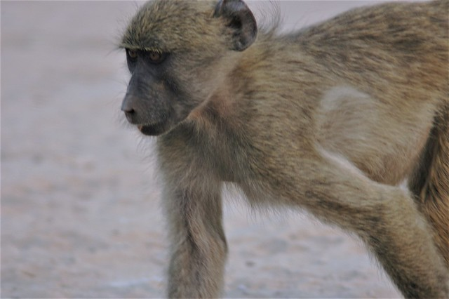 On a mission - young Baboon