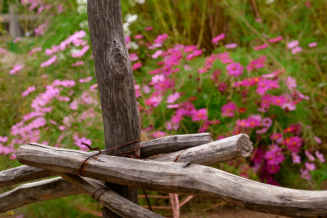 autumn fence and flowers at heritage farm