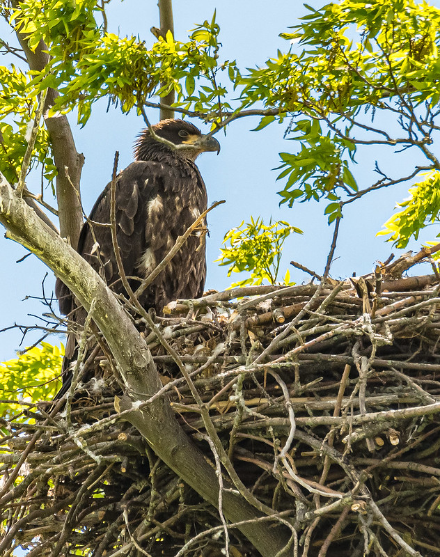 The Eaglet has grown...