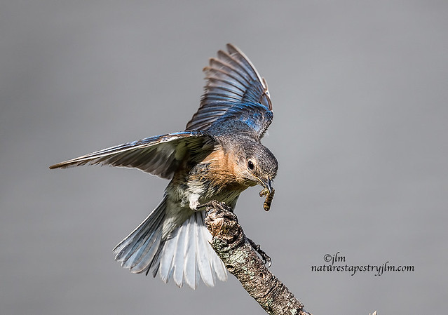 Eastern-Bluebird-Food-For-Her-Young