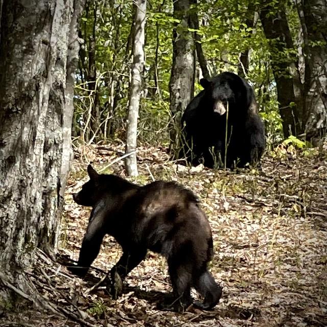 Black Bears Matter
