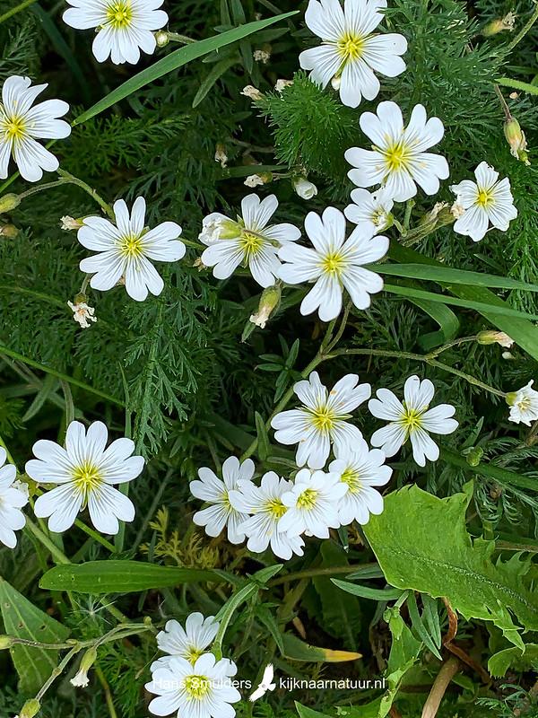 Akkerhoornbloem (Cerastium arvense)-IMG_6861