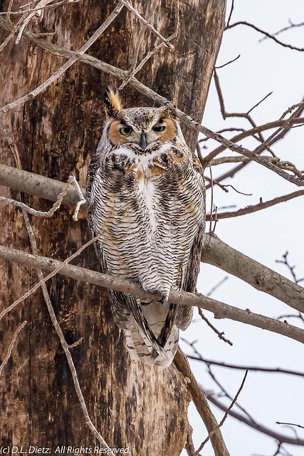 Great Horned Owl #17 - 2021-02-27.