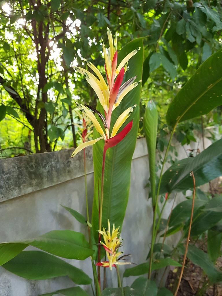 Heliconia psittacorum L.f. Heliconiaceae - Parrot's Beak, พุทธรักษาญี่ปุ่น 1