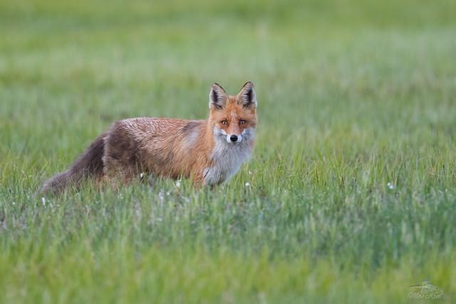 Biebrzański lis