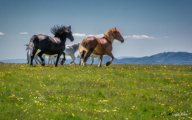Sibillini national park - cavalli sul monte Fema - Visso (MC)