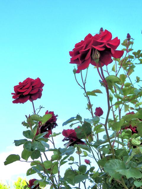 Rosier grimpant rouge. Red climbing rose bush.