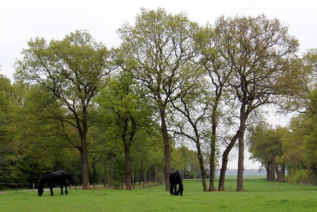 The Friesian horses