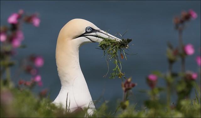 Gannet - Morus bassanus, with nesting material