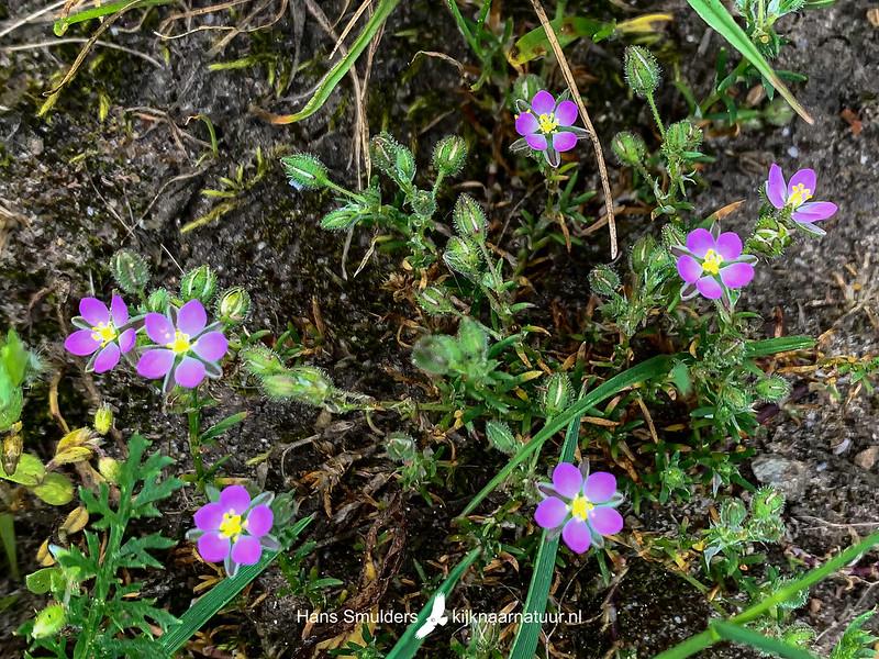 rode schijnspurrie (Spergularia rubra)-IMG_6866
