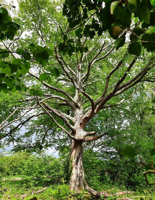 Beech tree in Abbotstone, Hampshire