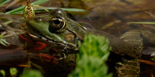 a green frog (Explore)