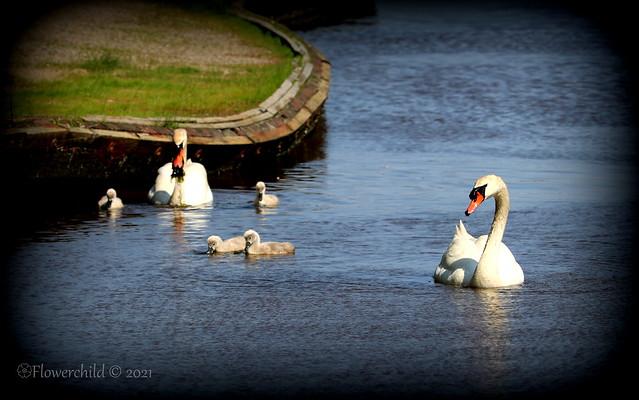Bayard Cutting Arboretum - Swan Families VI