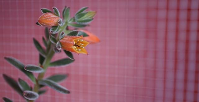 Echeveria pulvinata 'Ruby Blush' (Chenille Plant) at home.