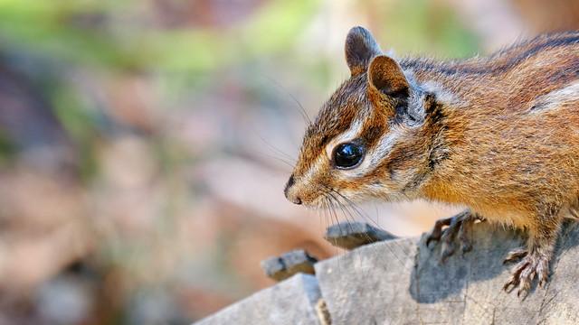 Portrait: Chipmunk