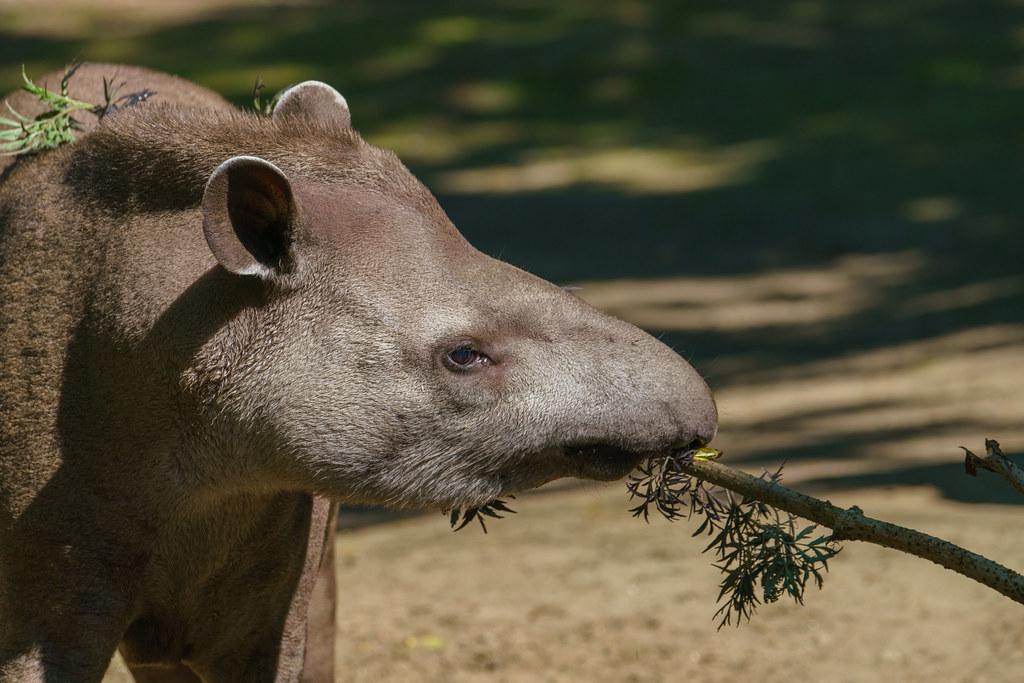 Zuid-Amerikaanse Tapir_01
