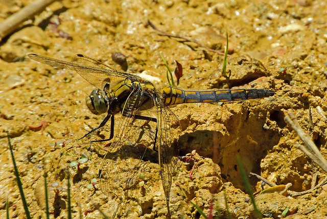Black-Tailed Skimmer,male,Yarmouth,Isle of Wight.
