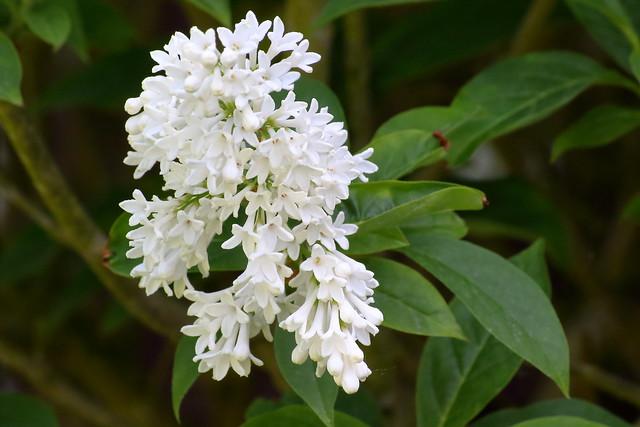 Lilac cultivar
