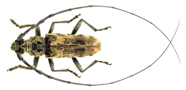 Trirachys indutus (Newman, 1842) Male
