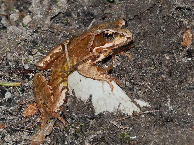 Junger Grasfrosch