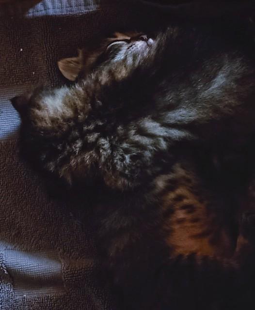 Kittens (24 days)  /  Châtons  (24 jours)
