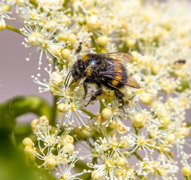 Buff-Tailed Bee