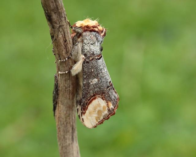 Buff- Tip  (Phalera bucephala)
