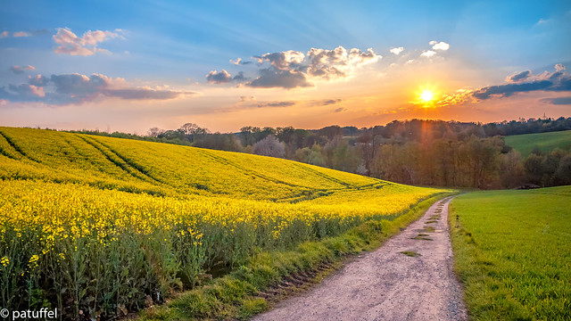 Sunset over the rapeseed field