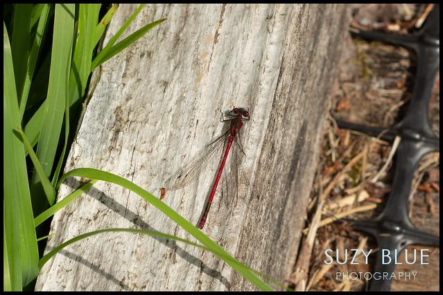 Large Red Damselfly (m)